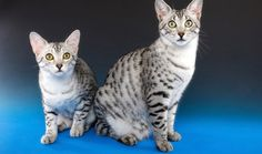 The Fastest and Most Athletic Cat Breeds on the Planet From the speedy Egyptian Mau (who can run up to 30 mph) to the tireless Bengal these athletic cat breeds have a need for speed. Cats Bus, Cats And Kittens, Gato Munchkin, Lykoi Cat, Gatos Cool, Egyptian Mau, Exotic Cats, Pet News, Animal Facts