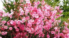 Free Image on Pixabay - Oleander, Bush, Nerium Oleander Full Sun Flowers, Little Flowers, Amazing Flowers, Red Flowers, Best Perennials, Flowers Perennials, Planting Flowers, Small Shrubs, Small Trees