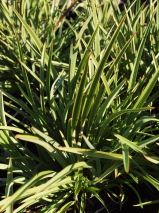 Phormium tenax 'Pepe' 30-5ocm tall - mass planting