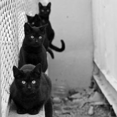 4 black cats - Black kitties are my favorite :) and they are often overlooked at the shelters... But they are just as sweet and funny and loveable as their brothers and sisters with different markings.