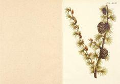 v.1-3 (1767) - Abbildung der wilden Bäume, Stauden und Buschgewächse, welche nicht nur mit Farben nach der Natur vorgestellet, sondern auch ... kurz und gründlich beschrieben werden / - Biodiversity Heritage Library