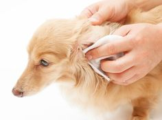 Ear Mites in Dogs Treatment | petMD#