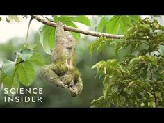 Sloths are the slowest mammal on the planet. But as strange as they seem the sloth is perfectly adapted to their environment and is actually slow for a very . Animal Pick, Cat Reading, Cute Sloth, Cancer Cure, Videos Funny, Mammals, Mother Nature, Sloths, Plants