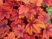 Heuchera 'Sweet Tea'.  The orange red color of this shade plant makes it an awesome punch of color in the hosta garden.