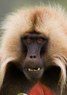 Bleeding-heart baboon - Gelada Baboon