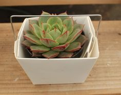The Succulent Source, Family run Licensed Nursery w/ succulents for sale. Wedding succulent favors / gifts, bulk succulent prices, events and more! Cheap Wedding Supplies, Inexpensive Wedding Favors, Diy Wedding Favors, Party Favors, Wedding Decorations, Wedding Ideas, Succulents For Sale, Planting Succulents, Garden Plants