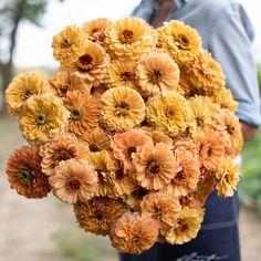 Zinnia Golden Hour by Floret Flower Farm Zinnia Bouquet, Zinnia Elegans, Italian Chic, Fleur Orange, Cut Flower Garden, Pretty Images, Types Of Plants, Cut Flowers, Summer Flowers