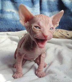 baby sphynx ~ A face only a mother could love!~