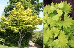 Acer shirasawanum 'Aureum'       This tree must be seen to be appreciated! Everyone who sees one, wants one! This yellow leaved form is highly prized. The spring foliage is bright yellow-green changing to medium green in the summer. Fall colors are spectacular, varying from orange through red and occasionally with purple blends. This variety is also used in bonsai culture. This tree should not be confused with another maple called Aureum wich is in the palmatum family.    HARDINESS ZONES	5-9…