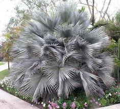 Brahea armata Gray Goddess.  The Blue Hesper Palm has waxy stems that are covered with dark curved thorns.