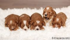 Willow Ridge Puppies for Sale: Cavalier King Charles King Charles Puppy, King Charles Spaniel, Cavalier King Charles, Cavapoo Puppies For Sale, Puppies Puppies, Forever Puppy, Poodle Mix, Puppy Food, Therapy Dogs