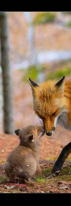cute red fox - mum and cub #Photograph by Kate M. #animal pet nature wilderness wildlife cute