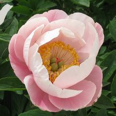 US Hybridizer and Grower Of New Sorts, Itoh, Bush, Rare and Best Landscaper Peonies