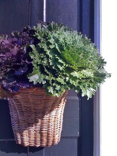 Ornamental cabbage for the front door