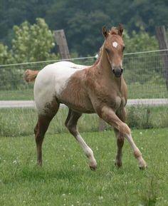 Cute snowcap Appy foal!