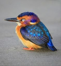Sleepy little pygmy kingfisher. I mean, Wow. Look at the color on this little guy!!!
