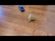 Die süßeste Verfolgungsjagd der Welt (Schildkröte jagt Spielzeugauto) - YouTube