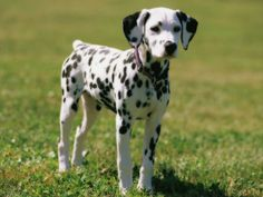 I think dalmatians are beautiful