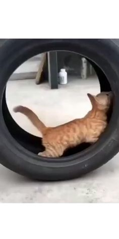 Funny Cute Cats, Cute Baby Cats, Cute Cat Gif, Cute Funny Animals, Funny Animal Videos, Funny Animal Pictures, Siamese Cats, Cats And Kittens, Super Cute Animals