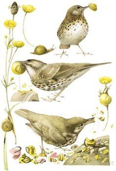 Marjolein Bastin - birds & snails