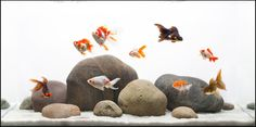 With the right kind of aquascaping, even a gold fish aquarium can look super cool. Goldfish Aquarium, Goldfish Tank, Aquarium Fish Tank, Aquascaping, Feng Shui, Aquarium Design, Conception Aquarium, Fish Aquarium Decorations, Aquarium Ideas