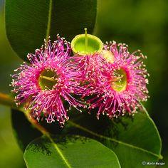 Pink Flowering Gum Tree (Eucalyptus ficifolia)   Flickr - Photo Sharing!