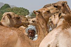 Camels are very much a part of Eritrean life...