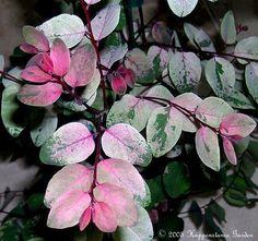 Hawaiian Snowbush, Redleaf Breynia, Snow Bush, Snow-on-the-Mountain, Sweetpea Bush, Ice Cream Bush 'Roseo-picta' (Breynia disticha)