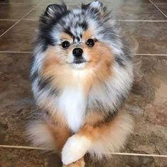 Delightful Comical And Sweet Pomeranian Ideas. Charming Comical And Sweet Pomeranian Ideas. Cute Dogs And Puppies, I Love Dogs, Doggies, Bulldog Puppies, Cute Fluffy Puppies, Aussie Puppies, Small Puppies, Cute Little Animals, Cute Funny Animals