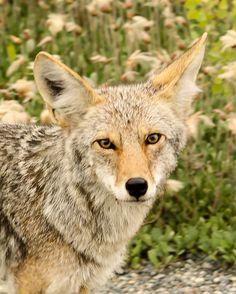 Yukon Wilderness Coyote by ETaddei, via Flickr Coyote Animal, Coyote S, Animals Beautiful, Cute Animals, Desert Animals, Dog Corner, Quokka, Wild Dogs, Animal Totems
