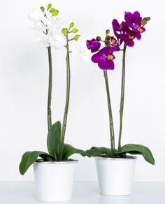 Phalaenopsis White Orchid in White Tin Pot – Allissias Attic & Vintage French Style