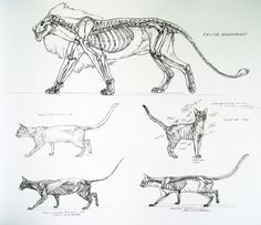 A wicked fuck-ton of feline anatomy references. Cat Anatomy, Animal Anatomy, Anatomy Drawing, Anatomy Art, Cat Drawing, Drawing Faces, Drawing People, Drawing Tips, Cat Reference