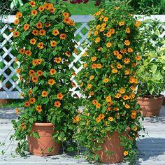 Ojos de poeta, planta trepadora de flores naranjas - http://www.jardineriaon.com/ojos-de-poeta-planta-trepadora-de-flores-naranjas.html
