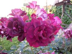 Gardening:Rose Garden Tips And Ideas Gardening Landscape Plans Garden Seating Planting Plan Climbing Rose Flower Yard Decor Small Backyard Landscaping Layout Design Ideas (3) Rose Garden Tips and Plans Ideas : How to Grow a Rose Garden in Pots and Other Flower Container