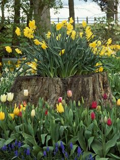 Tree stump planter - tulips!