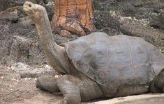 Lonesome George - A Pinta Island Tortoise (Now Extinct)