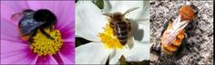 http://www.buzzaboutbees.net/bee-identification.html  How to id bees.