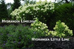 Big and not-so-big Hydrangea. Comparing Limelight to Little Lime