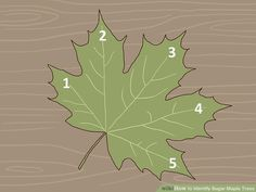 How to Identify Sugar Maple Trees. The sugar maple tree (Acer saccharum) grows abundantly in the northeastern part of North America: the northeastern United States (including as far south as Tennessee) and the southeastern portion of. Maple Syrup Evaporator, Tapping Maple Trees, Silver Maple Tree, Homemade Maple Syrup, Leaf Identification, Backyard Plants, Backyard Ideas, Black History Facts, Growing Tree