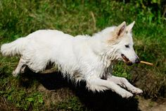 Lyra, white GSD at the River Ouse, York