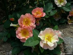 Morden Sunrise Rose, had such a success with a Morden Rose we bought last year that I will plant more this year. Can't wait!