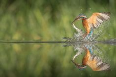 Kingfisher with catch.
