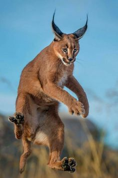 "The caracal is a medium sized cat which it spread in West Asia, South Asia, and Africa. The word Caracal is from Turkey ""Karakulak"" which means ""Black Ears"". Here is all about caracal as a pet. Caracal Caracal, Caracal Kittens, Cats And Kittens, Nature Animals, Animals And Pets, Funny Animals, Baby Animals, Cute Animals, Most Beautiful Animals"