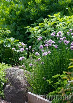 Siistit rajaukset tekevät puutarhasta huolitellun. www.kotipuutarha.fi