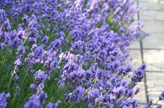 pretty lavendar