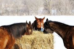 Equine Internal Combustion - TheHorse.com | Help kick-start your horse's furnace by providing proper fuel: food (and some foods are better for this than others). #horses #horsehealth #nutrition