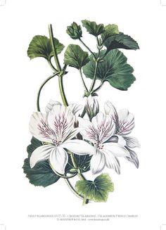 Pelargonium Prince Charles A4 Artprint