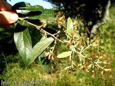 Gochnatia polymorpha - Cambará. Flora Digital do Rio Grande do Sul e de Santa Catarina: Gochnatia polymorpha