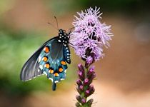 Bee and butterfly friendly native Kentucky plants
