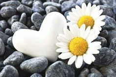 White daisy flower and heart are as pure as Innocence it could be, you see the beauty as clear as a white pure color will be.
